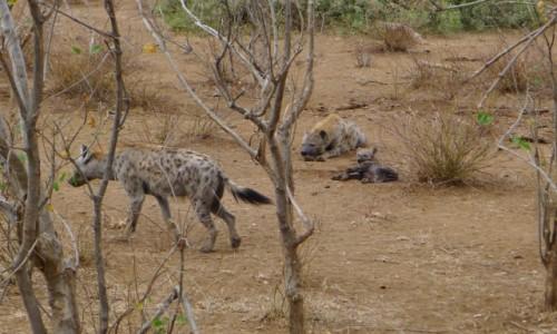 Zdjecie RPA / Pół - wsch. RPA  / Park Narodowy Krugera / Mała rodzina w komplecie