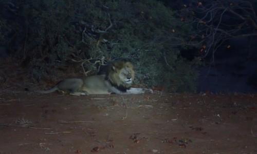 Zdjecie RPA / Pół - wsch. RPA  / Park Narodowy Krugera / Król zwierząt wieczorową porą