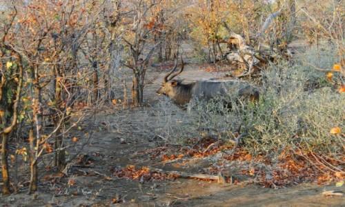 Zdjecie RPA / Pół - wsch. RPA  / Park Narodowy Krugera / Antylopa niala