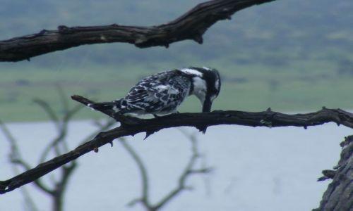 Zdjecie RPA / Transvaal / Park Narodowy Pilansberg / Zimorodek srokaty