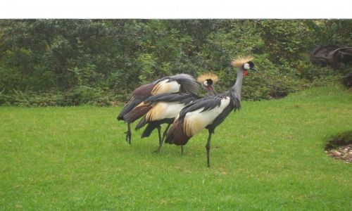 RPA / południe RPA / w pobliżu Plettenberg- ptasi Eden / Crowned crane