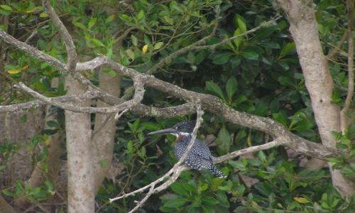 RPA / brak / Estuarium St Lucia / King Fisher