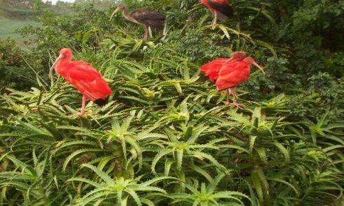 Zdjecie RPA / w pobliżu Knysny / Eden Bird's sanctuary / Ibis szkarłatny