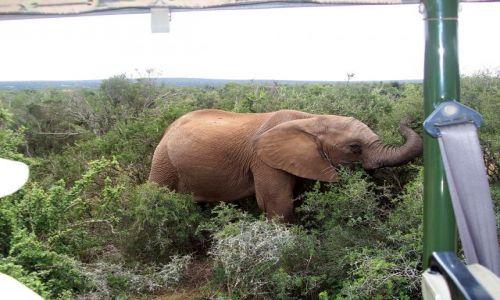 RPA / w pobliżu Knysny / Addo National Park / bliskie spotkania!