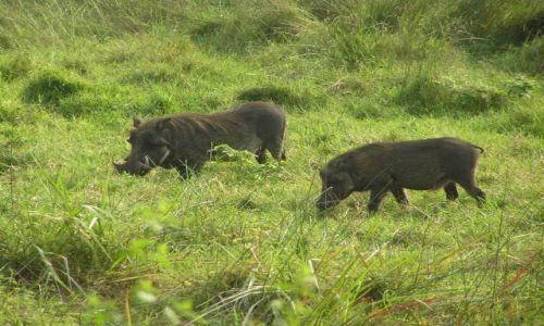 RPA / w pobliżu St Lucia / Hlu-Hluwe National Park / Guźce