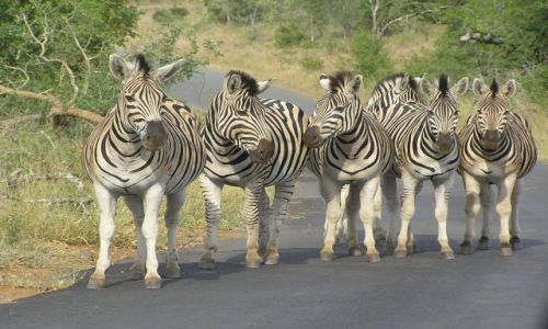 RPA / w pobliżu St Lucia / Hlu-Hluwe National Park / Zebry