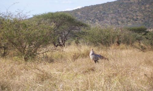 RPA / brak / Kruger National Park / ptak sekretarz