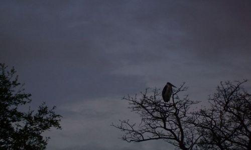 RPA / brak / Kruger National Park / Bocian marabuci