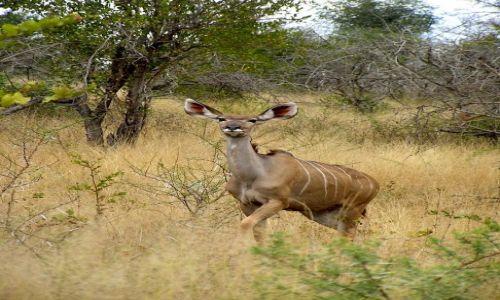 RPA / brak / Kruger National Park / antylopa Niala