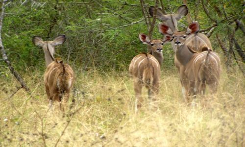 Zdjecie RPA / brak / Kruger National Park / Antylopy Niala