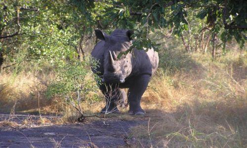 RPA / brak / Kruger National Park / Nosorożec biały