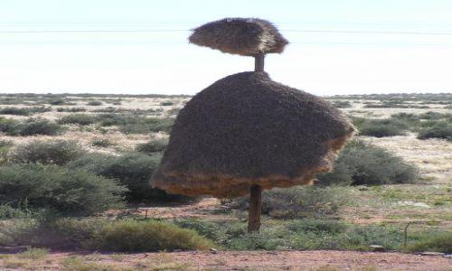 RPA / blisko granicy z Namibi� / na zach�d od Upington / gniazda wik�aczy