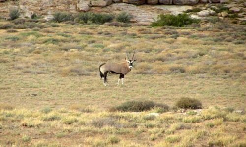 RPA / Północno-zachodnie RPA-okolice Springbok / Goegap Nature Reserve / Oryx