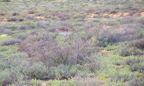 RPA / Północno-zachodnie RPA-okolice Springbok / Goegap Nature Reserve / szakal