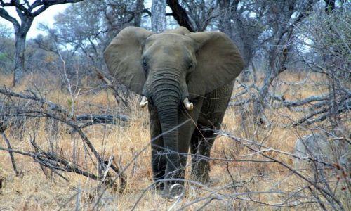 Zdjecie RPA / brak / Kruger Park / Słoń
