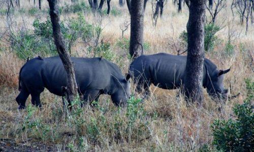 Zdjecie RPA / brak / Kruger Park / Nosorożec biały