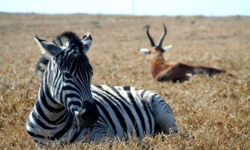 Zdjecie RPA / brak / Kruger Park / Zebra i ...Antylopa