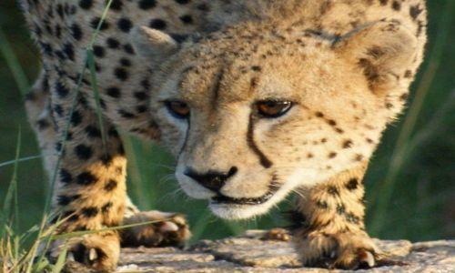 Zdjęcie RPA / Park Krugera / Kruger / Kociak