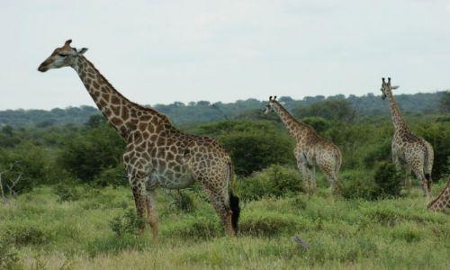 Zdjecie RPA / Park  / Krugera / Gromadka w cętki