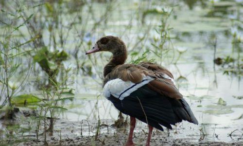 Zdjecie RPA / Park Krugera / bagna / Afrykańska kaczka