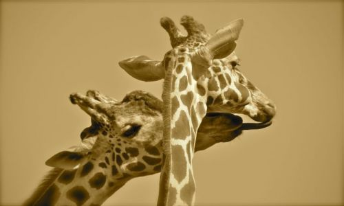 Zdjecie RPA / brak / Pilanesberg Park / Tylko mnie kochaj !!!
