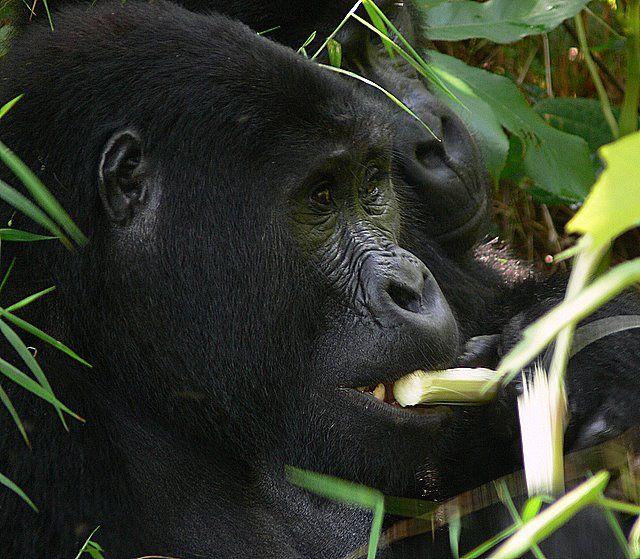 Zdjęcia: Park Narodowy Volkanoes, Góry Virunga, Jestem głodny, RUANDA