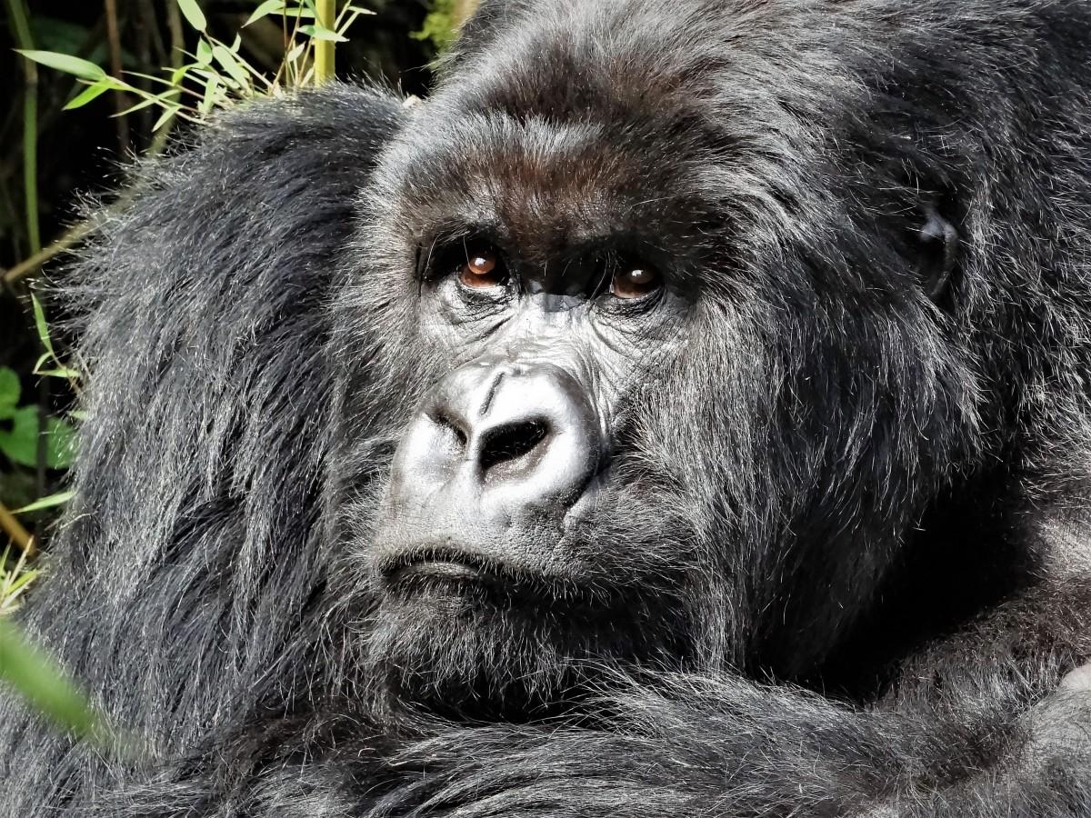 Zdjęcia: j.w, Góry Virunga, Przywódca stada, RUANDA
