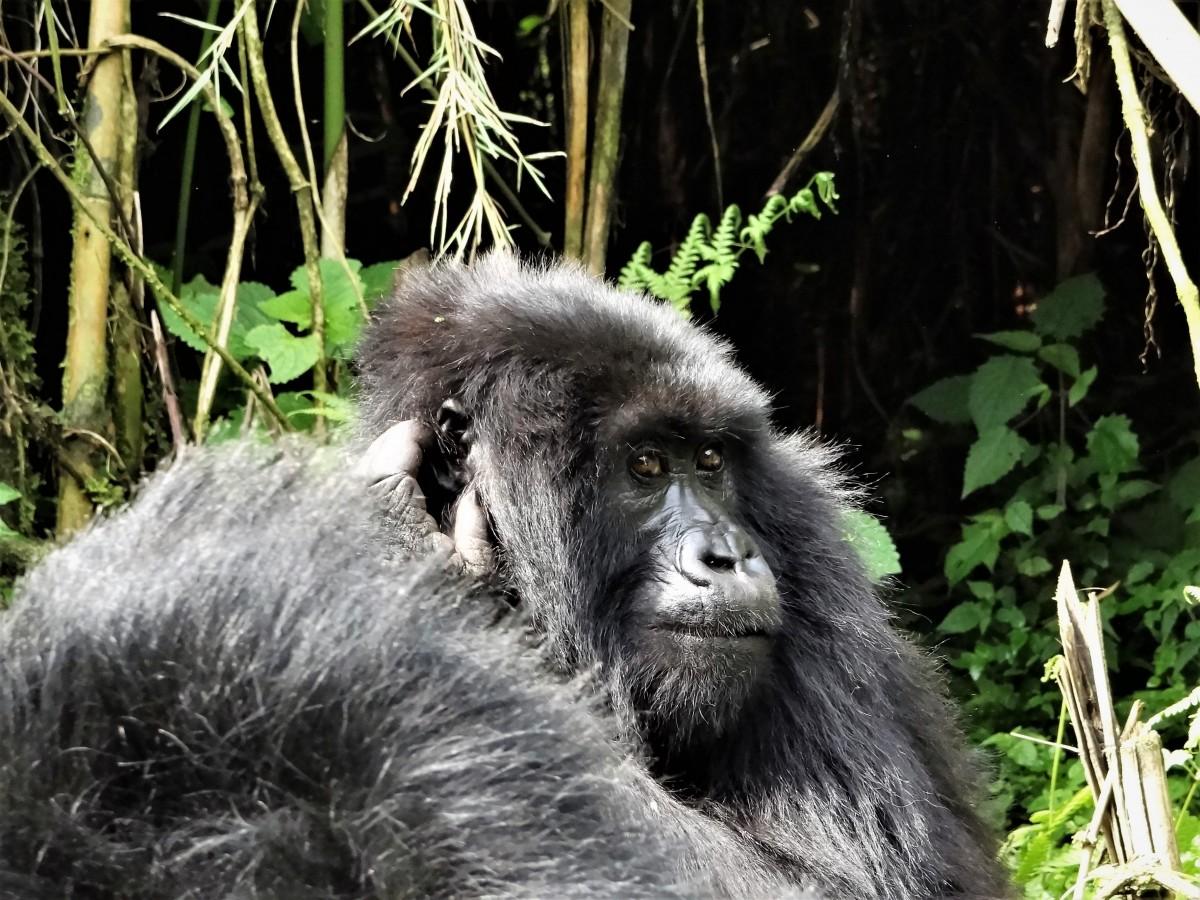 Zdjęcia: j.w., Góry Virunga, Samica-rodzina Muhoza, RUANDA