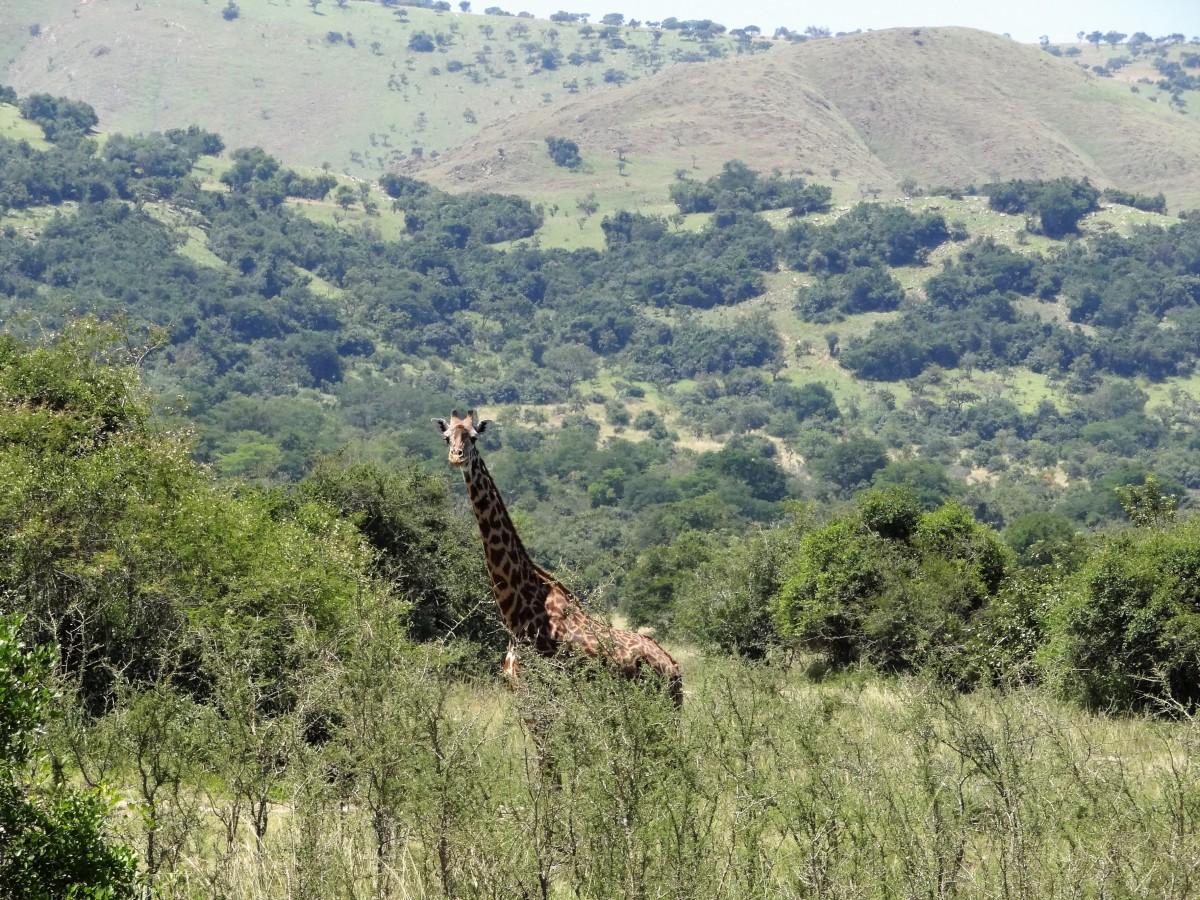 Zdjęcia: j.w., Część wschodnia, W parku Akagera, RUANDA