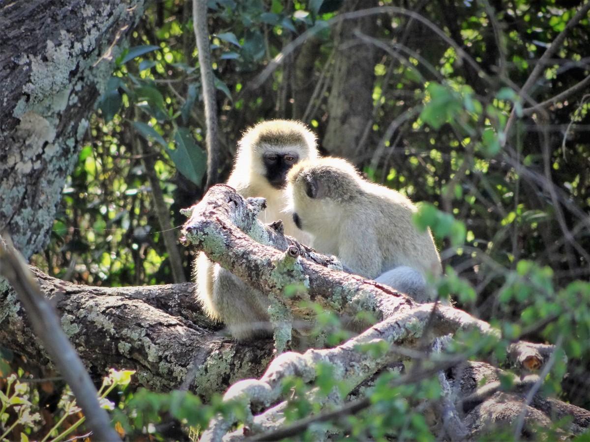 Zdjęcia: j.w., Park Akagera, Małpy Tumbili, RUANDA