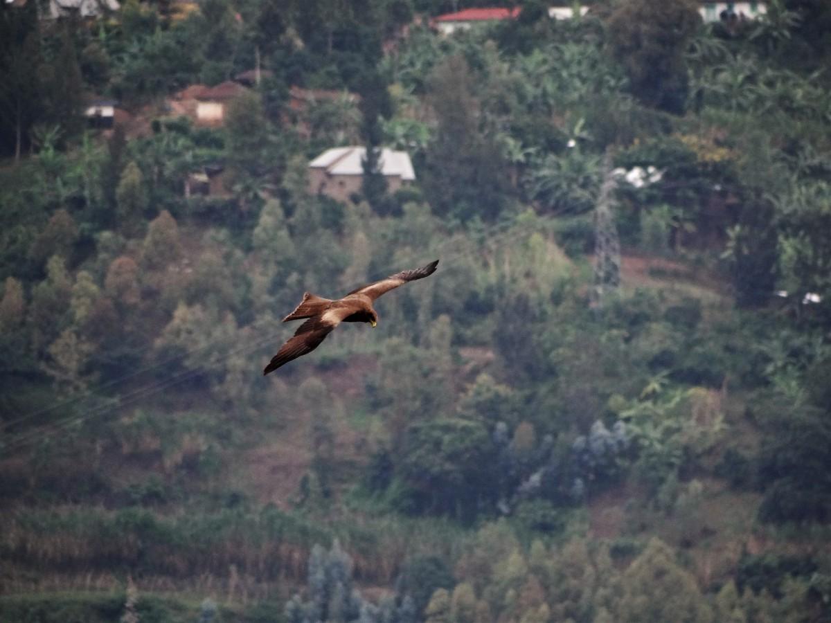 Zdjęcia: j.w., Przy jeziorze Kivu, Orlik krzykliwy, RUANDA
