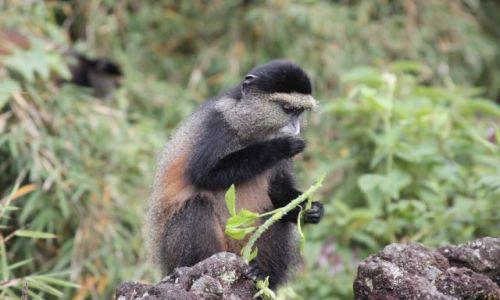Zdjecie RUANDA / okolice Ruhengeri / okolice Ruhengeri / golden monkey