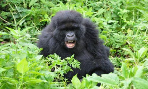 Zdjecie RUANDA / - / Góry Wirunga / Czy to uśmiech, ziewanie czy ochota na przekąskę?