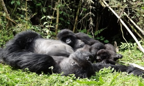 Zdjęcie RUANDA / Góry Virunga / j.w. / Goryle górskie-rodzina MUHOZA