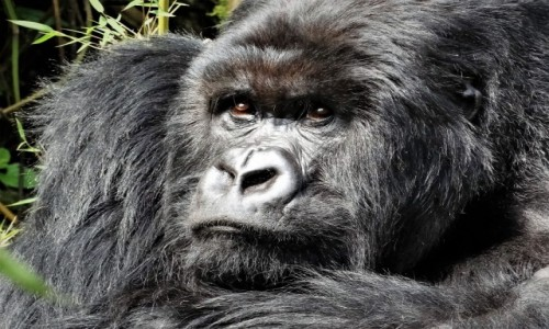 Zdjecie RUANDA / Góry Virunga / j.w / Przywódca stada