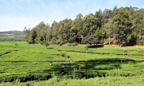 Zdjęcie RUANDA / okolice Kibeho / j.w. / Plantacje herbaty