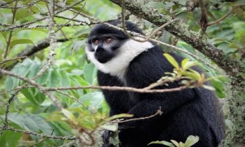 RUANDA / Park Narodowy Nyungwe / j.w. / Małpa L'Hoest