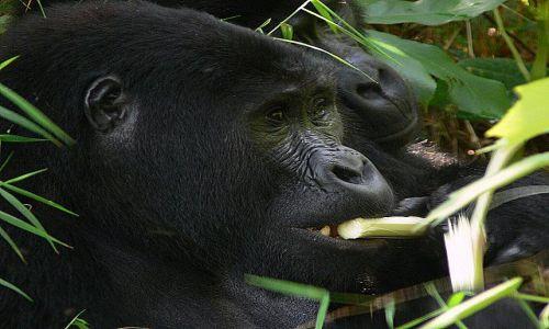 Zdjecie RUANDA / Góry Virunga / Park Narodowy Volkanoes / Jestem głodny