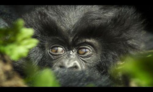Zdjecie RUANDA / brak / Parque Nacional de los Volcanes / Oczy gorylka