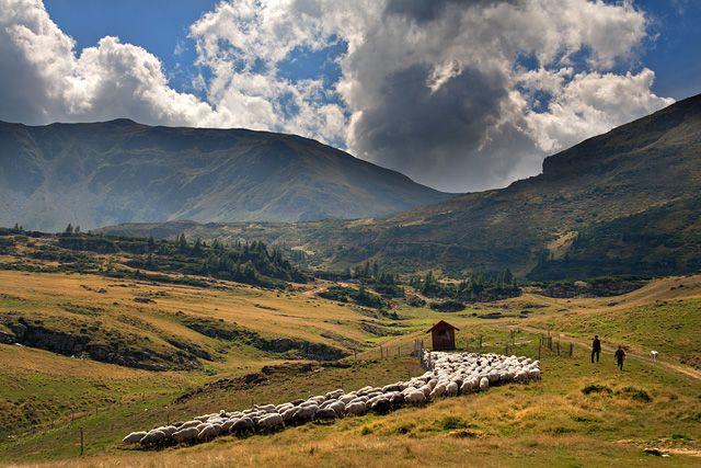Zdjęcia: Góry Rodniańskie, Maramuresz, Wypas owiec w Górach Rodniańskich, RUMUNIA