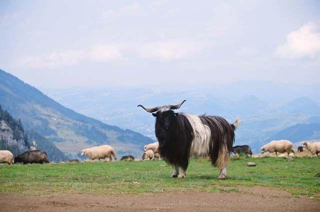Zdjęcia: Stiol, Góry Rodniańskie, Cap i owce w górach Rodniańskich, RUMUNIA