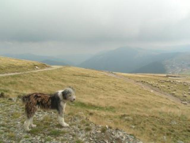 Zdjęcia: Rinca- przełecz Urdele, Góry Parang, Pies -stróż owieczek, RUMUNIA