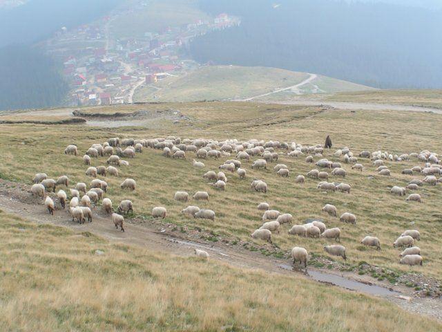 Zdj�cia: Rinca, Munteania, Owieczki na 1700 metrach, RUMUNIA