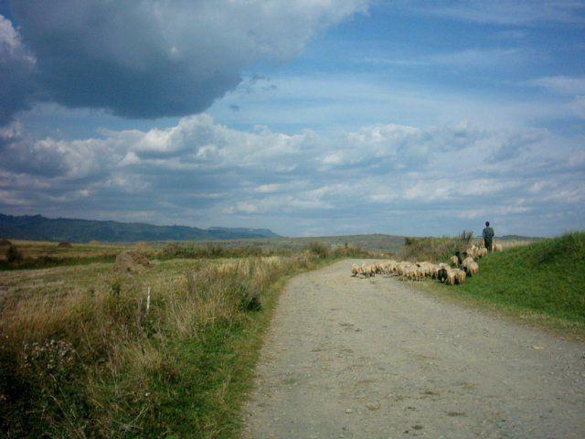 Zdjęcia: Sfanthu Sieu, Transylwania, Owieczki z pasterzem, RUMUNIA