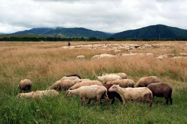 Zdjęcia: Valea mare, Transylwania, Owce, RUMUNIA