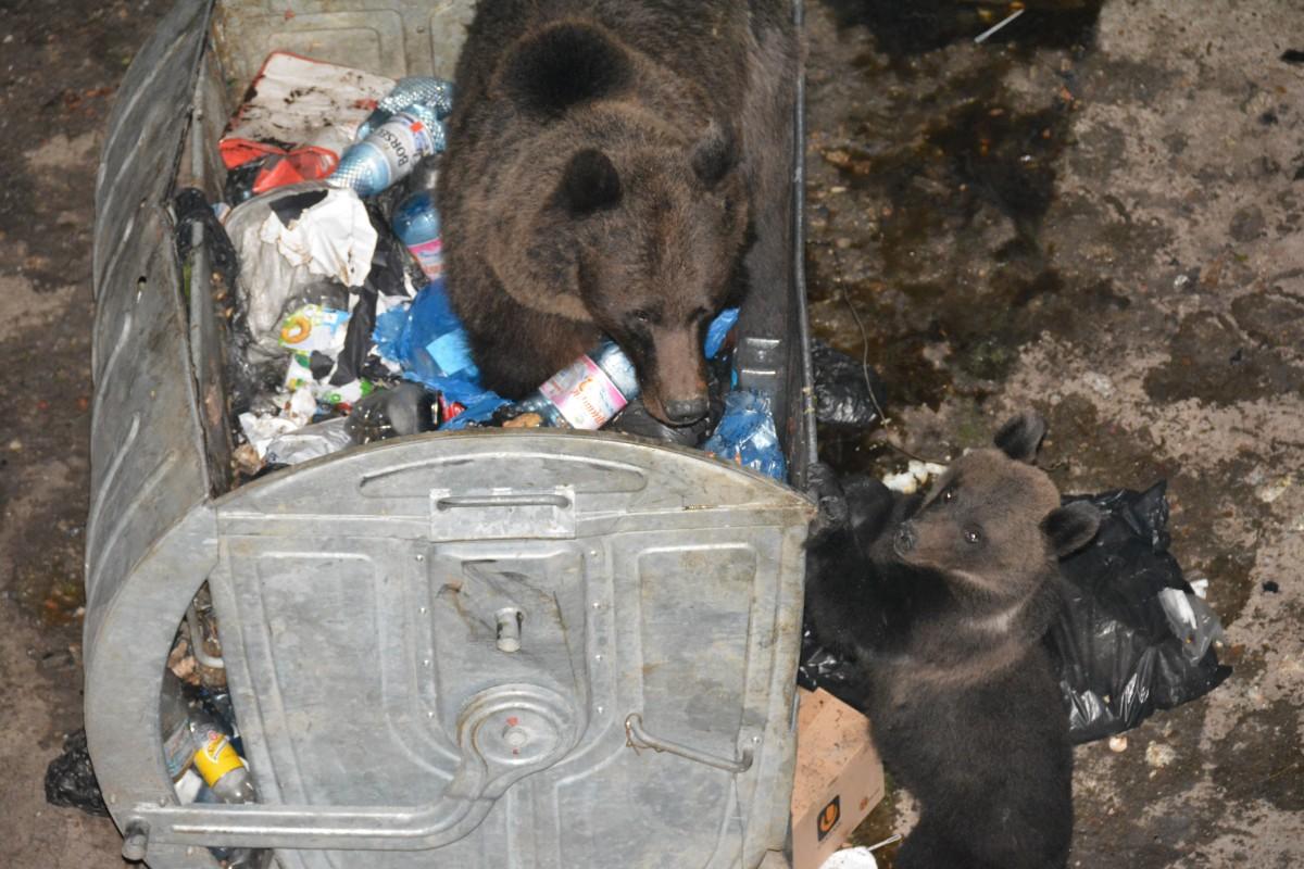 Zdjęcia: Predal, Targowiste, Matka z mlodym niedzwiadkiem, RUMUNIA