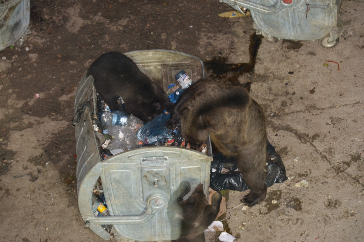 Zdjęcia: Predal, Targowiste, Matka z mlodymi niedzwiadkami, RUMUNIA