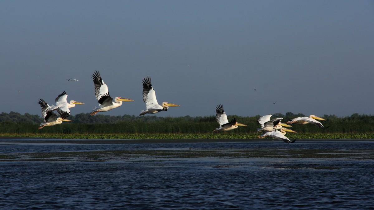 Zdjęcia: Delta Dunaju, Pelikany w Delcie Dunaju, RUMUNIA