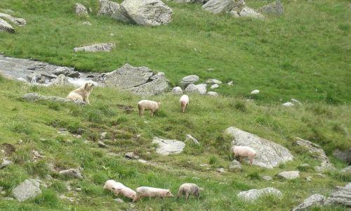 Zdjęcie RUMUNIA / -Transylwania / Góry Fogarskie / Pies pilnujacy świnie