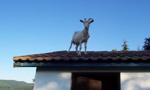 Zdjecie RUMUNIA / Hunedoara / Cincis / Koza na dachu